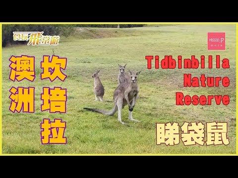 澳洲坎培拉 Tidbinbilla Nature Reserve 睇袋鼠
