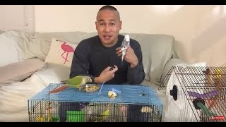 How to Tame Your Newly Adopted Parakeet/Budgie Pet Bird