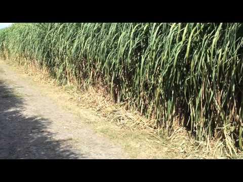 Napier grass (pennisetum purpureum)