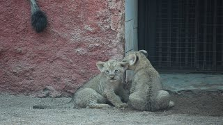 Two newly born African Lion cubs throb hearts at Hyderabad..