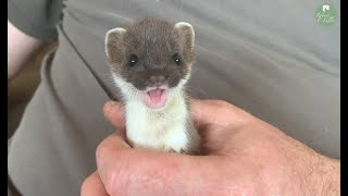 This Adorable Stoat Kit is Now so Playful | Stoat Wildlife Rehabilitation