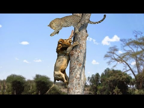 Lion vs Leopard - Most Amazing Moments Of Wild Animal Fights - Wild Discovery Animals 2018