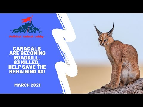 Caracals are becoming roadkill. Please help save them!