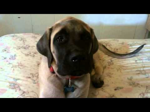 Waking Up an English Mastiff video is a bad influence