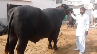 Visit to HLDB MURRAH MALE CALF REARING FARM Part 1