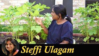 வெண்டைக்காய் செடியின் கதை | How to grow Okra in Tamil | Lady's finger growing, harvesting & cooking