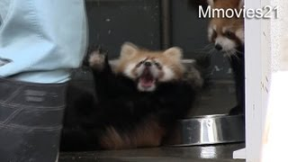 Red Panda Baby surprise !〜びっくりしてひっくり返る赤ちゃんレッサーパンダ