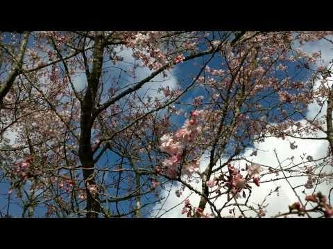 Prunus Subhirtella Autumnalis Rosea Tree