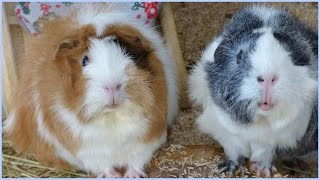 10 Reasons Why Guinea Pigs Make Amazing Pets