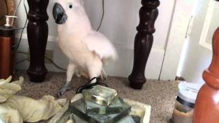/cockatoo finding out he is going to the vet