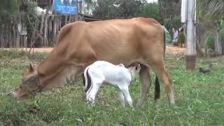 Cute Babe Cow born