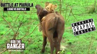BATTLE AT MARULA (Lions vs Buffalo) (HD)