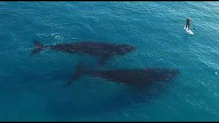 2 Whales Follow A Surfer