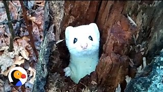 Shy Ermine in A Tree: Adorable Ermine Peeks Out To Say Hello | The Dodo