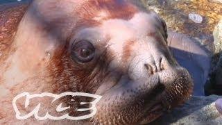 Cute Baby Walrus!