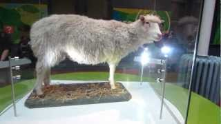 Dolly the cloned sheep at The National Museum of Scotland