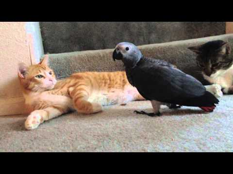 African Grey and Cat best friends