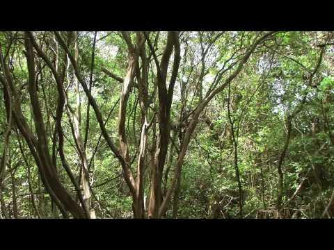 Baixar Canto dos passaros no silêncio sensação de paz ar puro natureza mata floresta