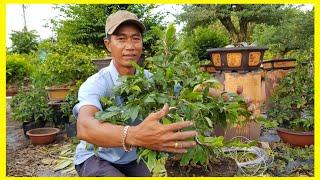 MAI VÀNG ĐAI LỘC THÀNH PHẨM🌻THANH MAI 0919990408🌻mai vang và bon sai mini bonsai Can Tho