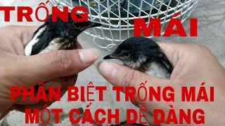 Cách PHÂN BIỆT và KINH NGHIỆM MUA chim CHÍCH CHÒE TRỐNG MÁI ||| Bán chim Chích Chòe bao trống 100%