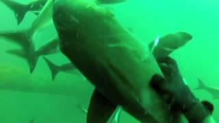 Mississippi Gulf Coast Spearfishing 10/20/12