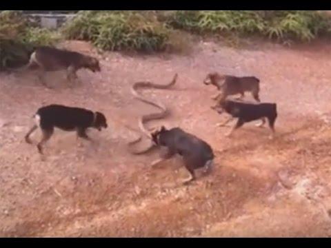 Cinco cães são filmados atacando cobra enorme - Cinco cães foram filmados atacando uma cobra enorme. Na cena que teria sido registrada no Vietnã, a matilha aparece atacando ferozmente o réptil, que tenta de todas as formas se defender.
