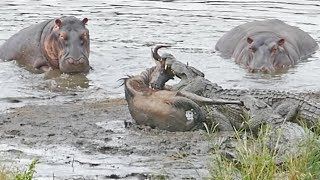 Hippos Save Wildebeest from Crocodiles!