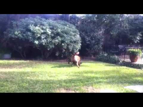 Bella Mia, Blue Dog Rescue