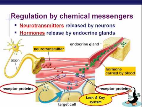 The Endocrine System (Structure and Function) (Nursing) Part 1