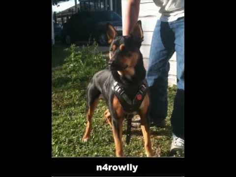 Mix German Shepperd Rottweiler Mix Belgian Malinois Youtube