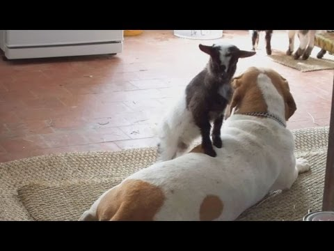 Baby goats play with big dog - YouTube |Baby Goats Playing Youtube