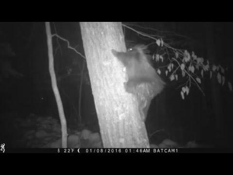 Porcupine climbs tree