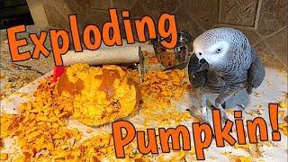 🎃 Einstein Parrot and the Exploding Pumpkin! 🎃