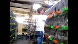 Trang trại nuôi chim bồ câu pháp tại Bắc Ninh