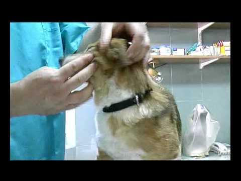 Tumori mlečne žlezde kod malih životinja