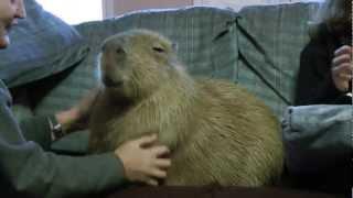 Most Adorable Capybara In Blissful Ecstasy  カピバラのエクスタシ