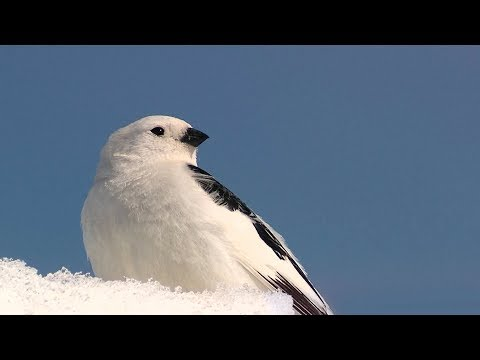 screenshot of youtube video titled Snow Bunting | Expeditions Shorts (small thumbnail)