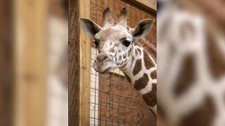 April the Giraffe Officially Pregnant Again