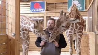 April the Giraffe's Super Bowl LII Prediction