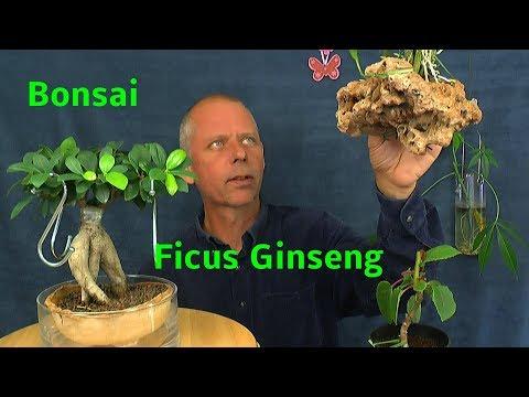 bonsai ficus ginseng wissenswertes und ficus benjamini zum. Black Bedroom Furniture Sets. Home Design Ideas