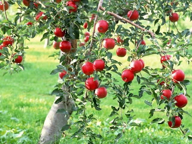 Como cultivar maçã