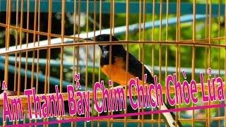 Âm Thanh Dùng Để Bẫy Chim Chích Chòe Lửa - Nam Bell