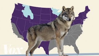 Is the gray wolf actually endangered?