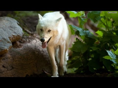 Wisconsin's War On Wolves - Smashpipe News Video