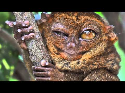 True Facts About The Tarsier.