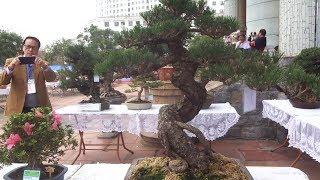 100 triệu không mang được cây bonsai này về, đáng đồng tiền - Japanese bonsai in Vietnam