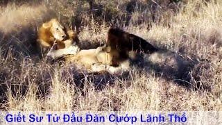 Giết Sư Tử đầu đàn cướp lãnh thổ và quyền giao phối