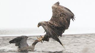 Seeadler schlägt Graugans 1   Eagle hunts Goose 1