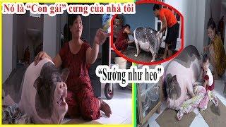 GIA ĐÌNH NUÔI CHÚ HEO HƠN 100KG LÀM THÚ CƯNG Ở TP HCM   Pet Pigs