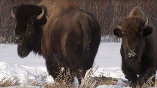 Wolf Pack Hunts Buffalo Herd | BBC Earth